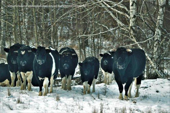 Розповіли про унікальне стадо здичавілих корів у Чорнобильській зоні