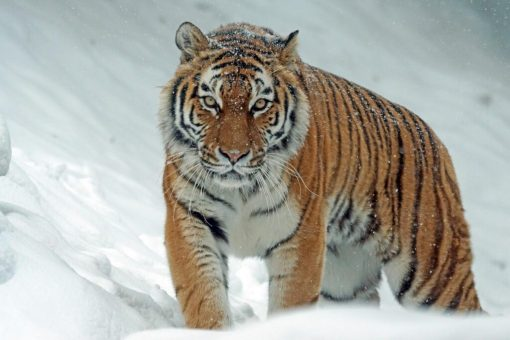 На Чернігівщині тигр загриз працівника зоопарку
